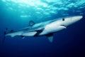 requin bleu acores