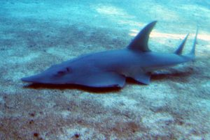 Un requin guitare présent à l'atoll d'ari