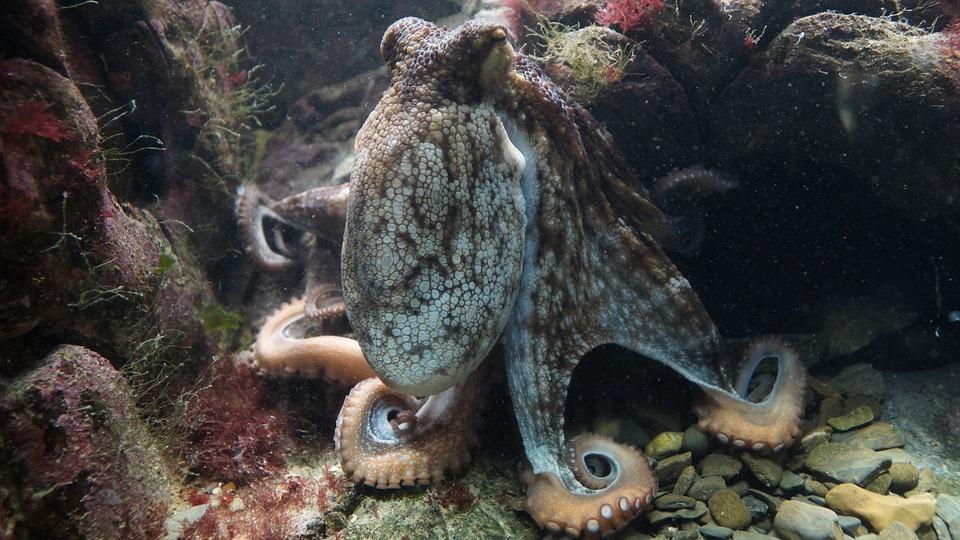 Octopus-kraken